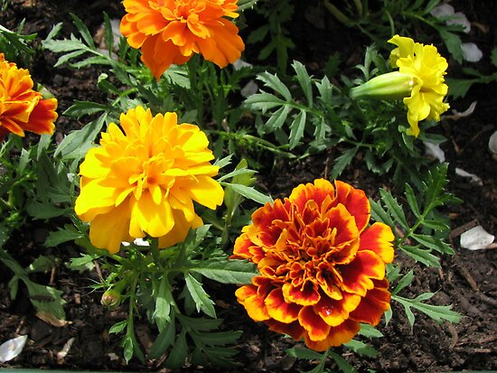 Tiny but Powerful - Orange and Yellow Marigolds by BlueMoonRose