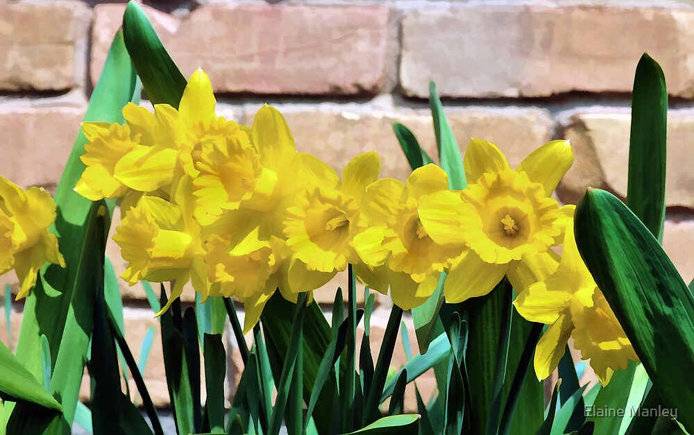 Sunny Daffodils by Elaine  Manley