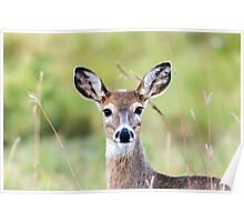 Portrait of a Whitetail Deer Poster