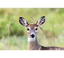 Portrait of a Whitetail Deer Photographic Print