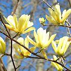 Yellow Magnolia Flowers art prints Tree Baslee Troutman by BasleeArtPrints