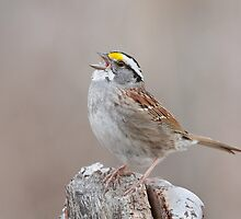 White-throated Sparrow belts it out. by Daniel Cadieux