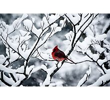 Cardinal In Snow Covered Tree Photographic Print