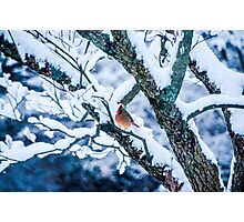 Female Cardinal In Snowy Tree Photographic Print
