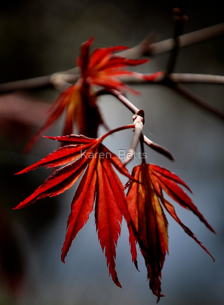 Maple Leaf by Karen  Betts
