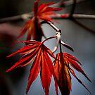Maple Leaf by Karen  Betts