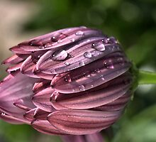 Drops of Dew by Joy Watson