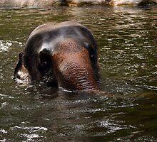 Elephant at Singapore Zoo by Steve Bass