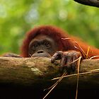Orangutan at Singapore Zoo by Steve Bass