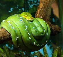 Green Snake at Singapore Zoo by Steve Bass