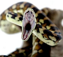 Darwin Carpet Python - yawning by Linda Claridge