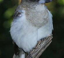 Young Butcher bird my backyard Brisbane by Steve Bass