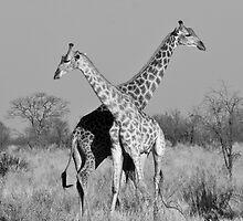 Giraffe Pair, Okavango Delta, Botswana by ARabideau