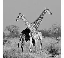 Giraffe Pair, Okavango Delta, Botswana Photographic Print