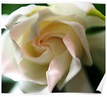 Gardenia with a touch of Pink Poster