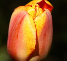Colorful Tulip by walstraasart