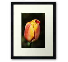 Colorful Tulip Framed Print