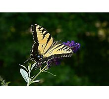 Yellow Swallowtail Photographic Print