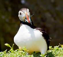 Atlantic Puffin 3 by Stephen Lawlor