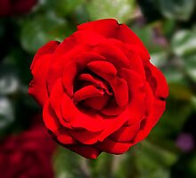Red red rose by Stephen Lawlor