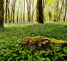 Bluebells 2 by Stephen Lawlor