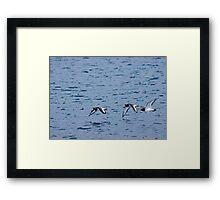 Oyster catchers in flight Framed Print