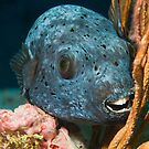 Blackspotted pufferfish portrait by Valerija S.  Vlasov