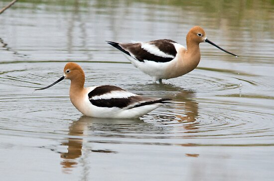 American Avocets by Eivor Kuchta