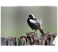 The Bobolinks Are Back Poster
