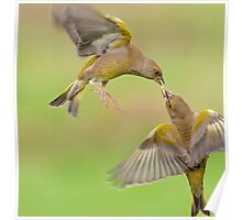 Greenfinches in flight Poster