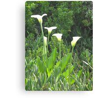 Arum Lilies in the field near Darling Canvas Print