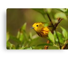 Yellow Warbler II Canvas Print
