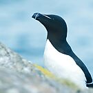 Razorbill portrait by jaffa