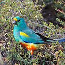 Mulga Parrot by Robert Elliott