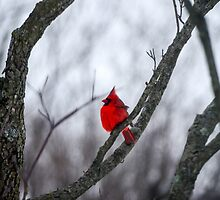 Cardinal In A Snow Storm by Mary Carol Story
