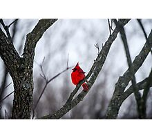 Cardinal In A Snow Storm Photographic Print
