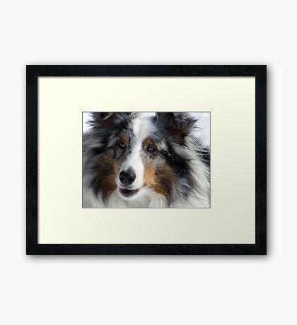 Sheltie Closeup Framed Print