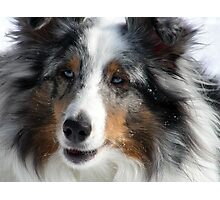 Sheltie Closeup Photographic Print