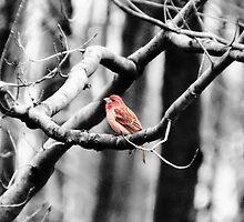 Purple Finch by Marcia Rubin