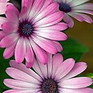African Pink Daisies by T.J. Martin