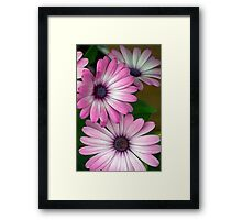 African Pink Daisies Framed Print