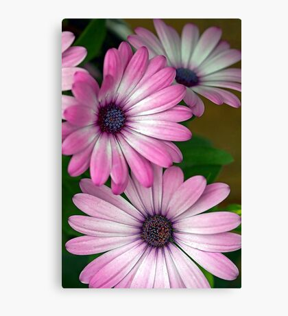 African Pink Daisies Canvas Print