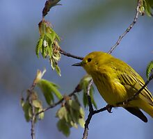 Warbler In Yellow by withacanon