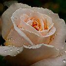 Delicate rose in the rain by Celeste Mookherjee