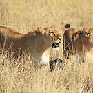 Female Lions Guarding the Kill, Maasai Mara, Kenya  by Carole-Anne