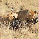Female Lion with Cubs, Moving the Kill, Maasai Mara, Kenya  by Carole-Anne