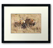 Female Lion with Cubs, Moving the Kill, Maasai Mara, Kenya  Framed Print