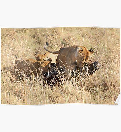 Female Lion with Cubs, Moving the Kill, Maasai Mara, Kenya  Poster