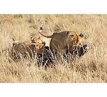 Female Lion with Cubs, Moving the Kill, Maasai Mara, Kenya  Photographic Print