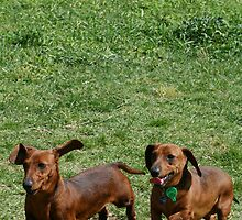 Miniature dachshunds in the park by RainbowsEnd